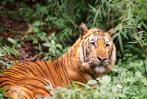Sundarbans tigers